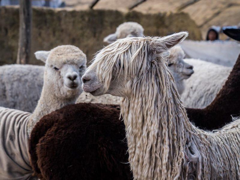 lamas ausangate