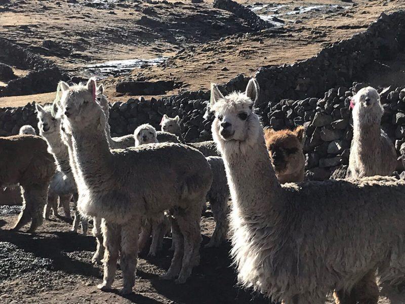 Peru Alpaca heard