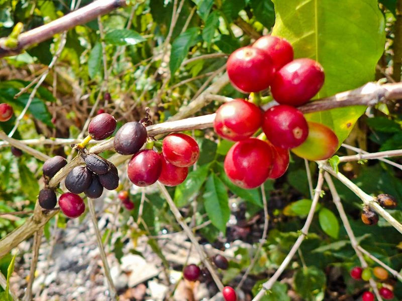 Coffee farm hiking tour